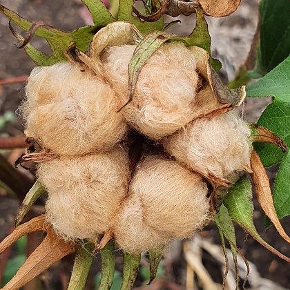 Levantor Brown Cotton - Gossypium herbaceum
