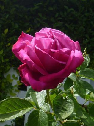 Rose Perfumed Delight