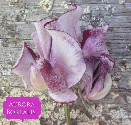 Aurora Borealis - Semi Dwarf