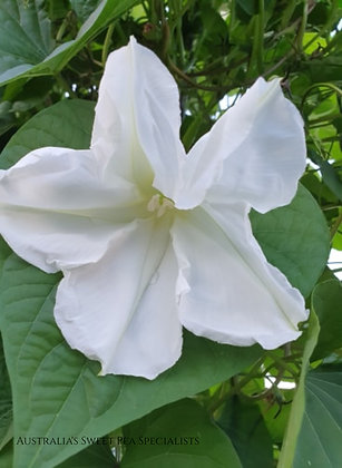 Moonvine / Moonflower - Ipomoea alba