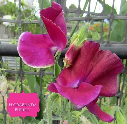 Floribunda Purple
