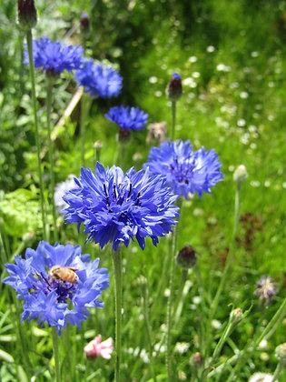 Cornflower - Blue - Centaurea cyanus