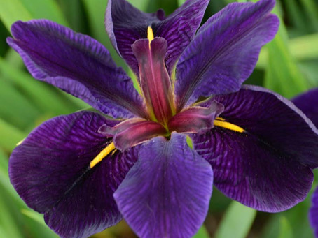 Irises for Cut Flowers - Part Two