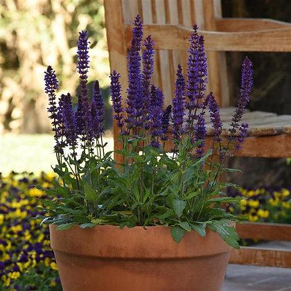 Salvia 'Salvatore Blue'