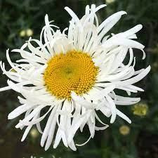 Leucanthemum x superbum 'Shaggy Gem'
