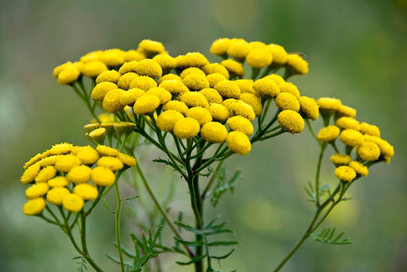 Tansy - Tanacetum vulgare (Plant)