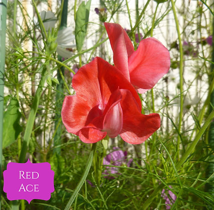 Red Ace