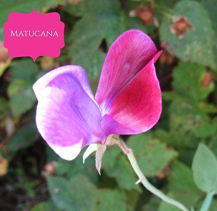Matucana