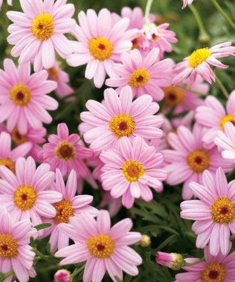 Argyranthemum frutescens Single Pink