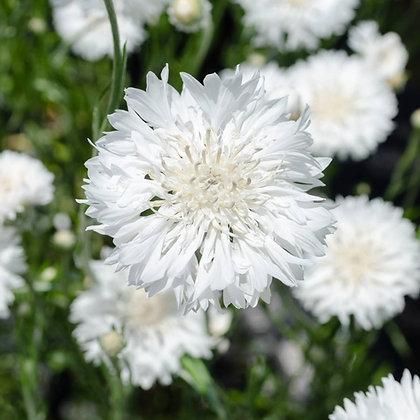 Cornflower - White - Centaurea cyanus