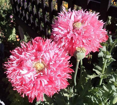Poppy Seeds (inc Peony Poppies)