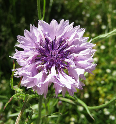 Cornflower - Mauve - Centaurea cyanus