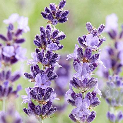 English Lavender 'Hidcote' - Lavandula angustifolia