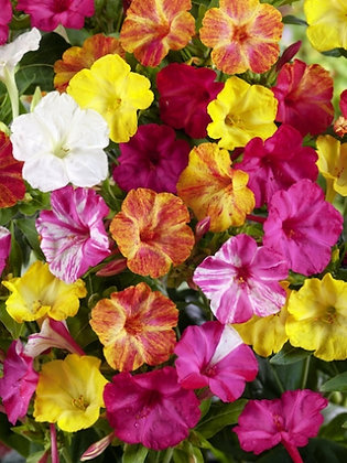 Four O'clock Flower or The Marvel of Peru - Mirabilis jalapa
