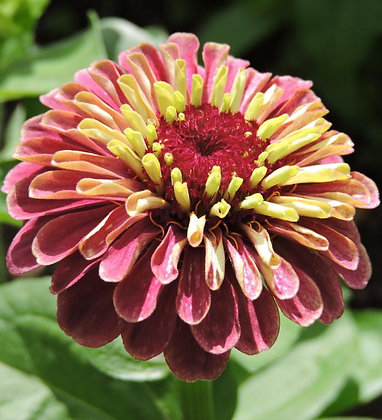 Zinnia Queen Red Lime Seeds