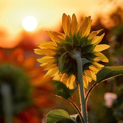 Sunflower Sunbird Seeds