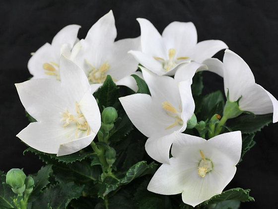 Platycodon grandiflorus White - Balloon Flower