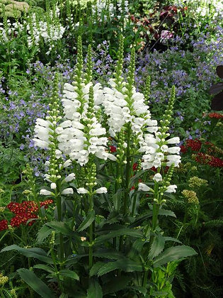 White Obedient Plant - Physostegia Virginiana