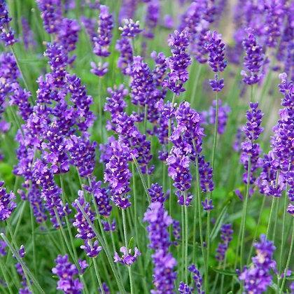 Lavender 'Munstead' - Lavandula angustifolia