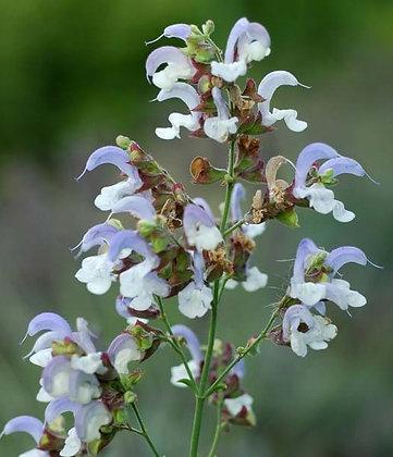 Salvia chamelaeagnea 'Blue Haze'