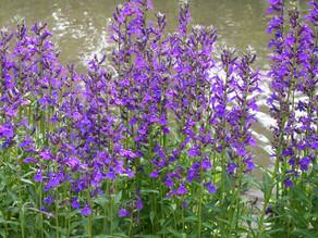 Perennial Lobelias