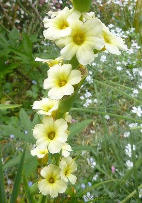 Sisyrinchium striatum - Aunt May