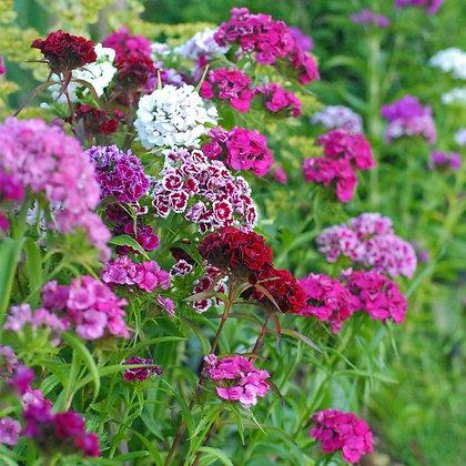 Sweet William Mix - Dianthus barbatus