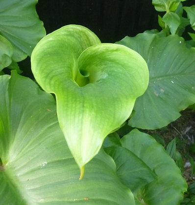 Zantedeschia Green Goddess (Zantedeschia aethiopica)