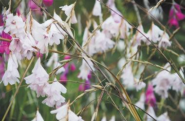 Fairy or Angel's Fishing Rod White - Dierama pulcherrimum