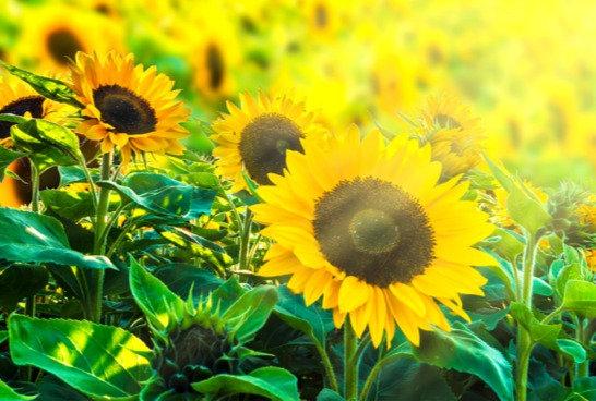 Sunflower Mixed Seeds