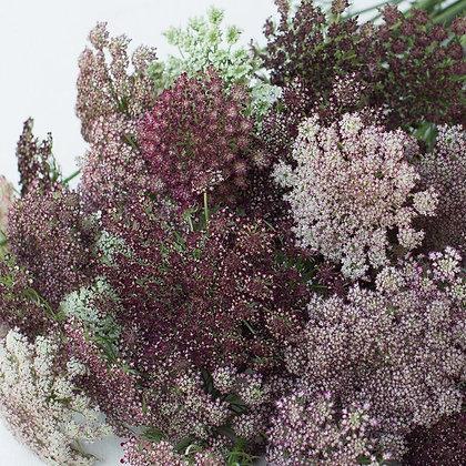 Chocolate Lace Flower 'Dara' Daucus carota