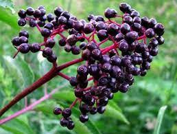 Elderberry Plant - Sambucus canadensis