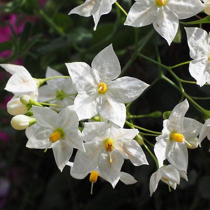 Solanum jasminoides - Potato Vine (White)