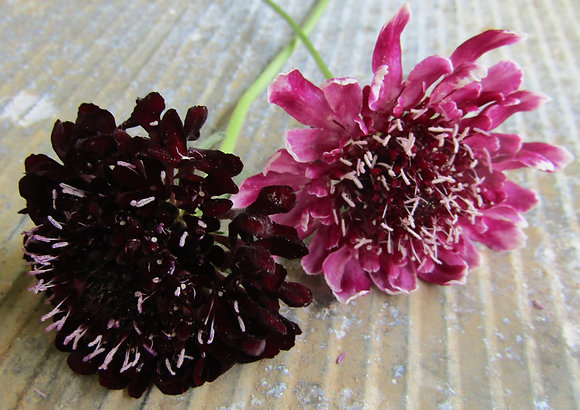Scabiosa atropurpurea Mix - Sweet Scabious - Mix