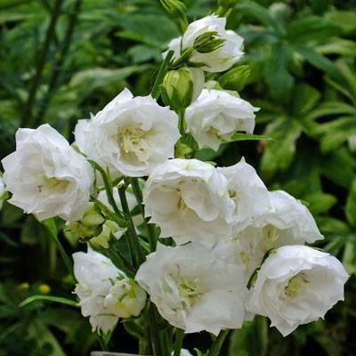 Campanula persicifolia 'Boule de Neige