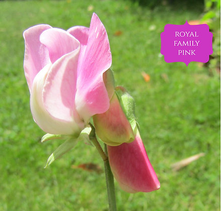 Royal Family Pink