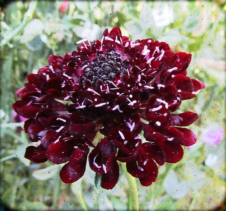 Scabiosa atropurpurea - Sweet Scabious - 'Black Knight'