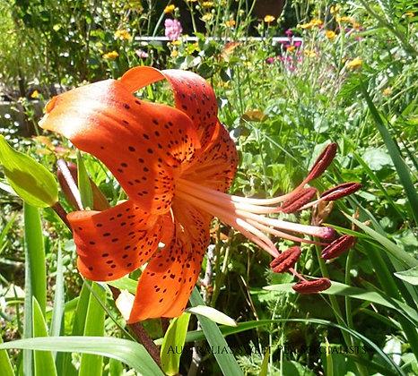 Lilium lancifolium or Lilium tigrinum (Tiger Lily)