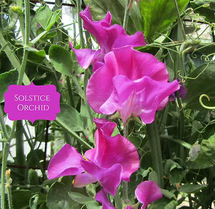 Solstice Orchid