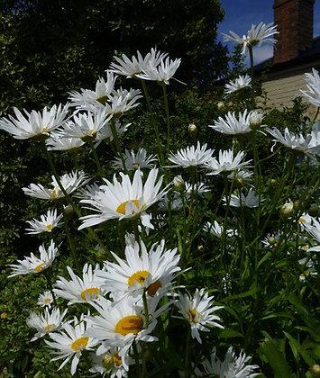 Shasta Daisy - Leucanthemum × superbum