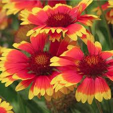 Gaillardia Dwarf Goblin - Blanket Flower