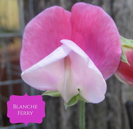 Blanche Ferry - Dwarf