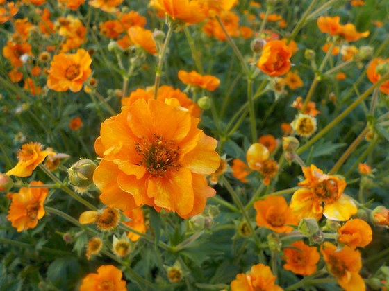 Geum Orange - Avens