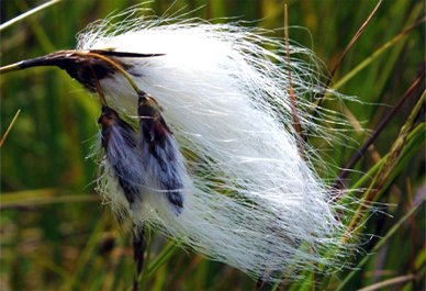 Eriophorum angustifolium - Cotton Grass