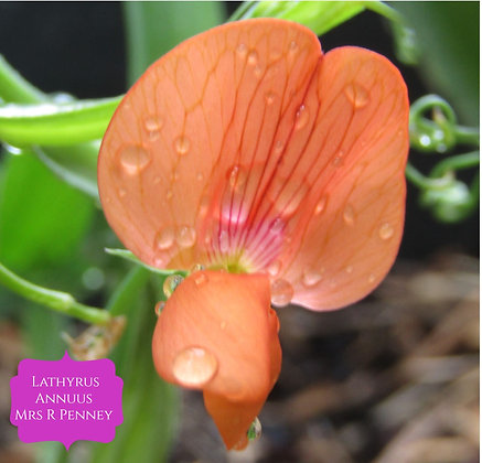 Lathyrus annuus 'Mrs R Penney'