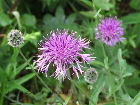 Centaurea scabiosa - Greater Knapweed