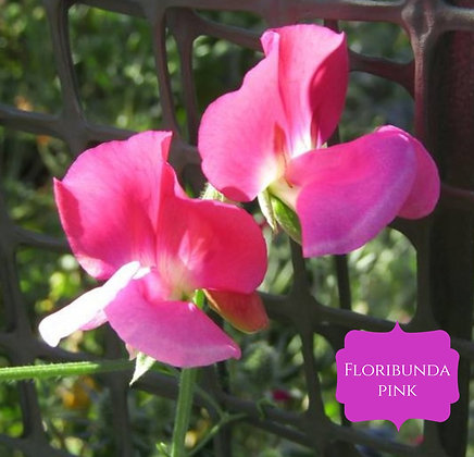 Floribunda Bicolour - Pink