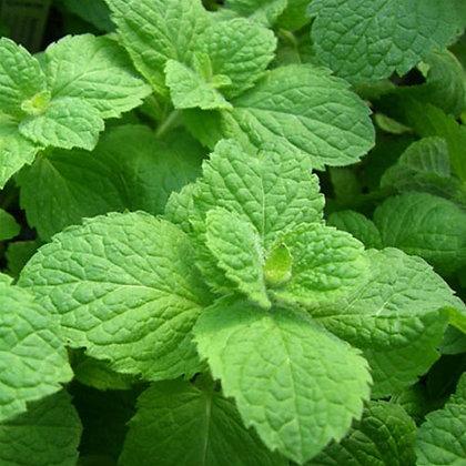 Mint Apple - Mentha suaveolens