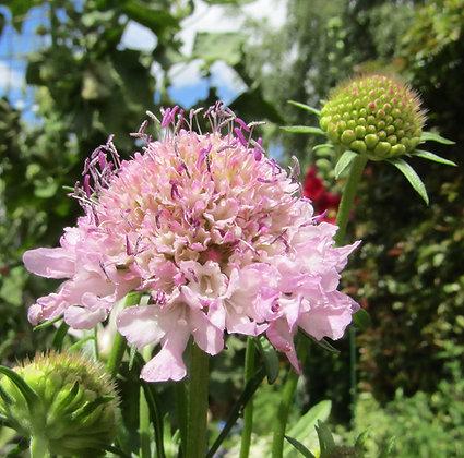 Scabiosa atropurpurea - Sweet Scabious - Mauve
