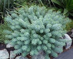 Euphorbia Grey Hedgehog